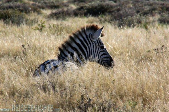 Afrika Namibia Rundreise Zebra